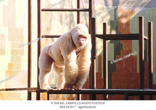 'Copito de nieve' (Snowflake), the only albine gorilla in the world. Barcelona Zoo. Spain