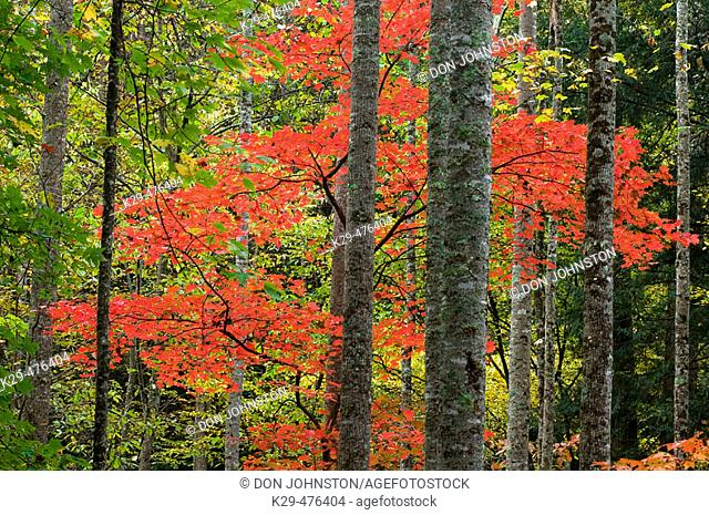 Tree trunks and colourful foliage near Elkmont, Southern Appalachian autumn woodland. Great Smoky Mountains NP, TN, USA