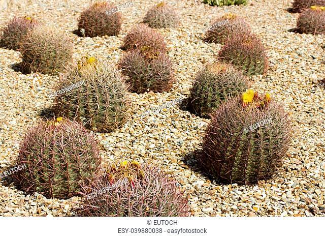Barrel cactus blooming close up; Botanical Garden, Phoenix, AZ