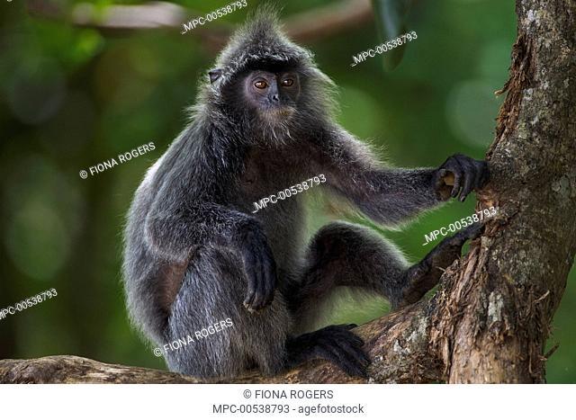 Silvered Leaf Monkey (Trachypithecus cristatus) male in tree, Bako National Park, Sarawak, Borneo, Malaysia