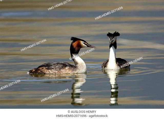 Great Crested Grebe (Podiceps cristatus), couple