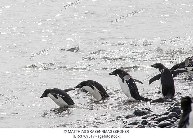 Adélie Penguins (Pygoscelis adeliae) on the way into the ocean, Paulet Island, Antarctic Peninsula, Antarctica