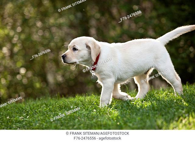 1o week old yellow labrador retriever puppy walking on lawn, mr # 4862