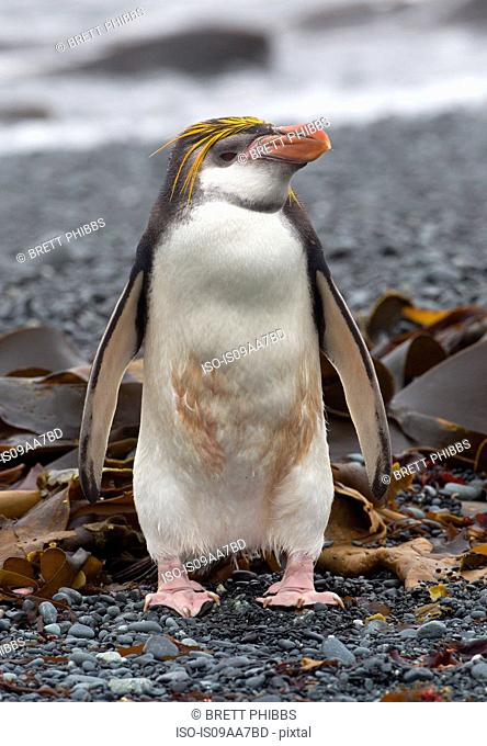 A Royal penguin stands alone on beach, a long way from his colony, along the north west coast of Macquarie Island, Southern Ocean