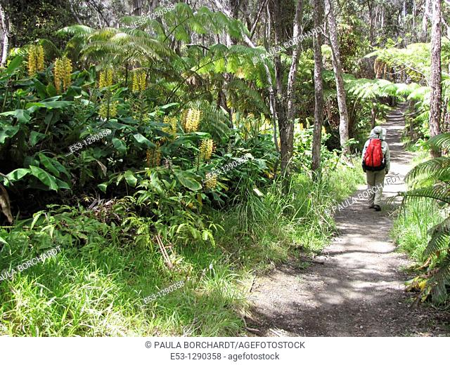 Hiker, ferns, Kahili ginger invasive species, Kilauea Iki Trail, Hawaii Volcanoes National Park, Hawaii, USA