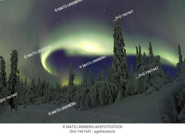 Aurora borealis, Northernlight over winter forest with snow on the trees in Gällivare in Swedish lapland