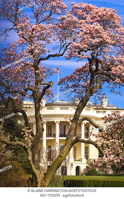 The White House framed by cherry blossoms, The South Lawn, Washington D C , U S A