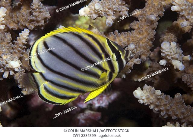 Meyer's Butterflyfish (Chaetodon meyersi, Chaetodontidae family), Riong Island, near Alor, Banda Sea, Indonesia