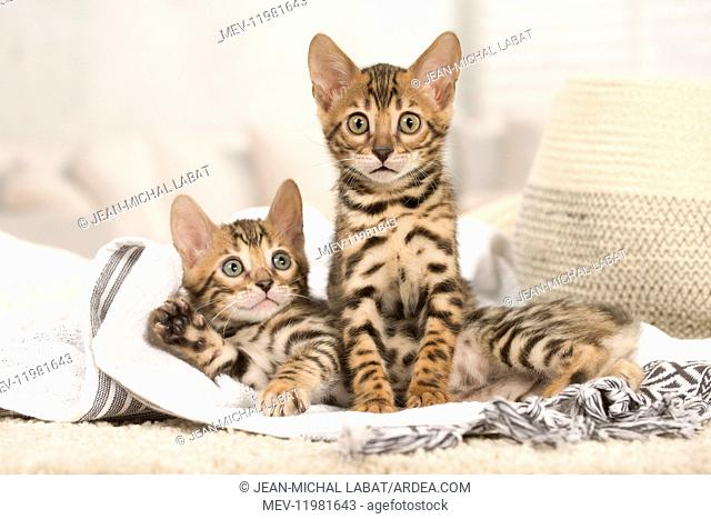 Cat - Two Bengal kittens indoors