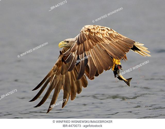 White-tailed eagle (haliaetus albicilla) in flight over water with fish, Norwegian coast, Flatanger, Norway