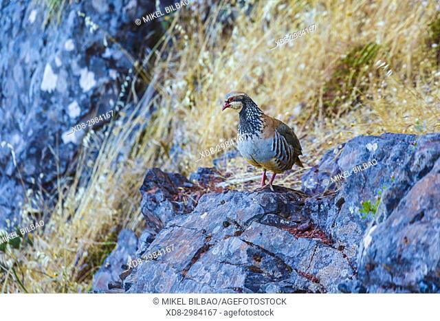 Red-legged partridge (Alectoris rufa). Pico do Arieiro area. Madeira, Portugal, Europe