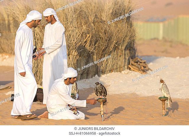 Saker Falcon (Falco cherrug). Falconer caring for trained birds on their blocks in the desert. Abu Dhabi