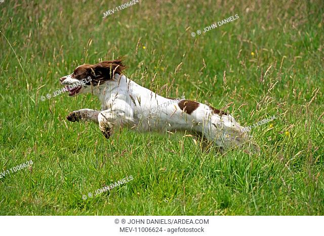 Dog English Springer Spaniel running in a meadow