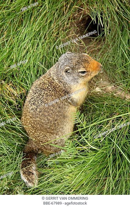 Columbian Ground-squirrel