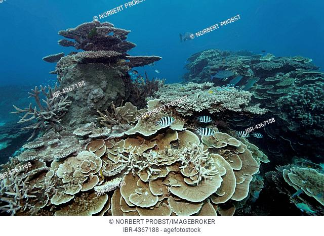 Hard corals, reef with striped Sergeant Major (Abudefduf saxatilis), Great Barrier Reef, Queensland, Cairns, Pacific Ocean, Australia