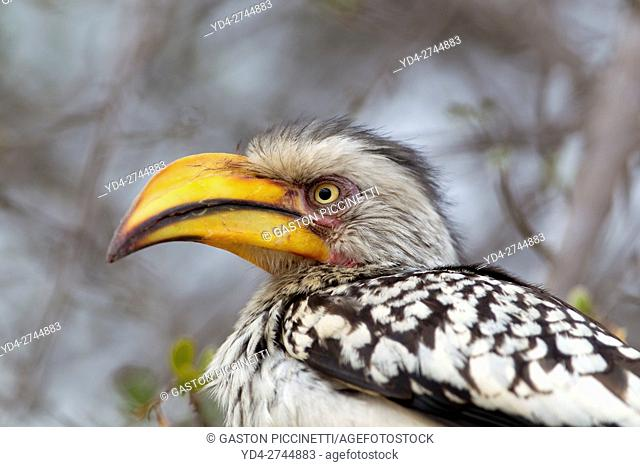 Yellowbilled hornbill (Tockus flavirostris), Kruger National Park, South Africa