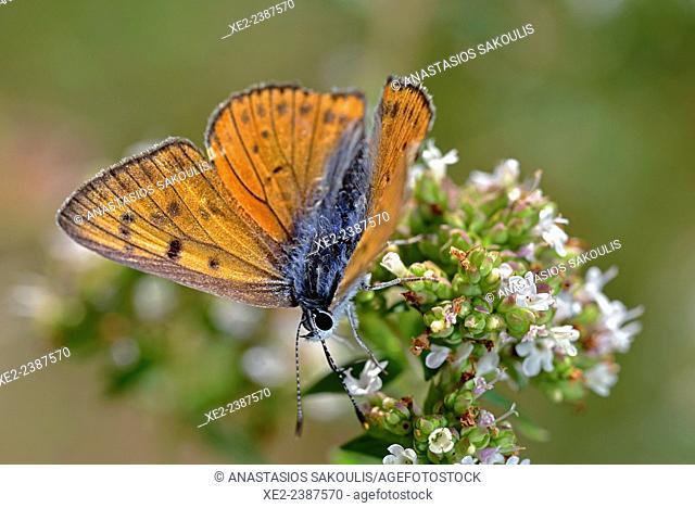 Purple-shot Copper (Lycaena alciphron), Greece