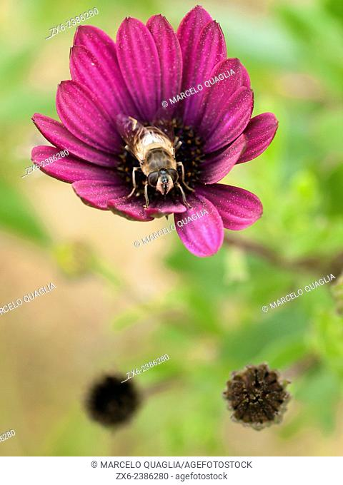 Bee, flower and pollen. Barcelona, Catalonia, Spain