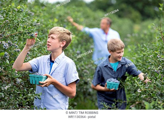 An organic fruit farm. A family picking the berry fruits from the bushes
