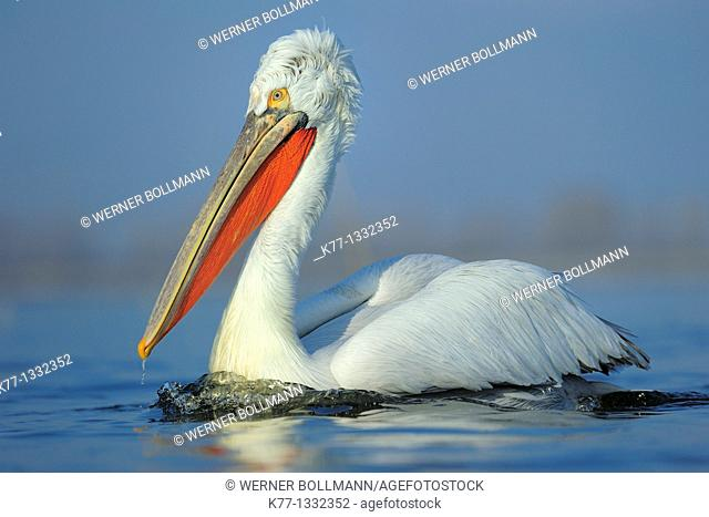 Dalmatian Pelican (Pelecanus crispus) in breeding plumage, Lake Kerkini, Greece, January 2010