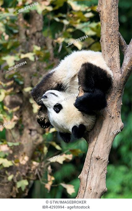 Giant Panda (Ailuropoda melanoleuca), two years, climbing tree, China Conservation and Research Centre for the Giant Panda, Chengdu, Sichuan, China