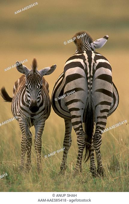 Common Zebra with Young (Equus burchelli), Maasai Mara N.R., Kenya