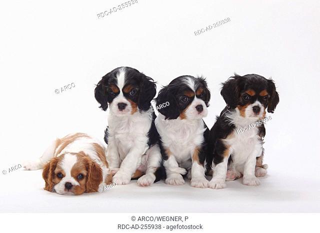 Cavalier King Charles Spaniel puppies tricolour and blenheim 7 weeks