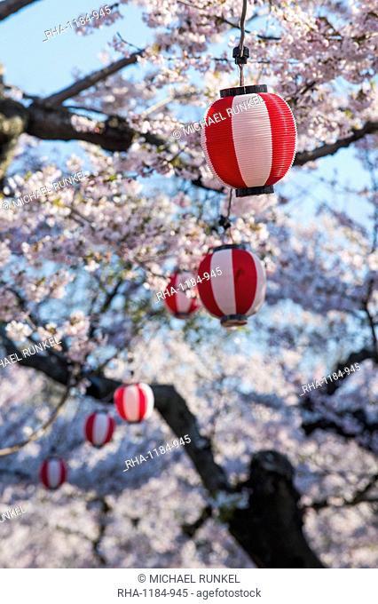 Paper lanterns hanging in the blooming cherry trees, Fort Goryokaku, Hakodate, Hokkaido, Japan, Asia