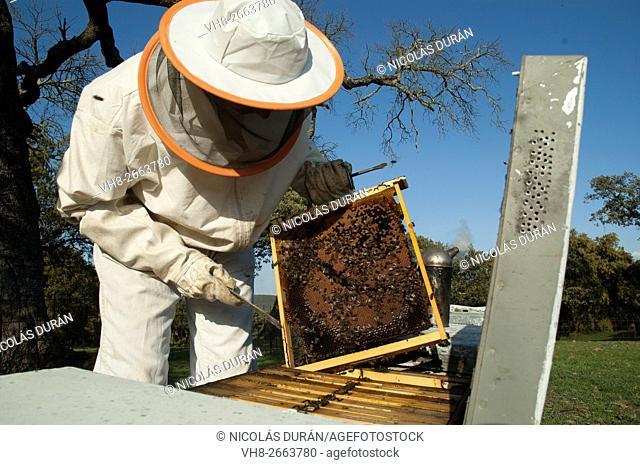 Beekeeper working with hives. Zafra, Badajoz province, Extremadura, Spain