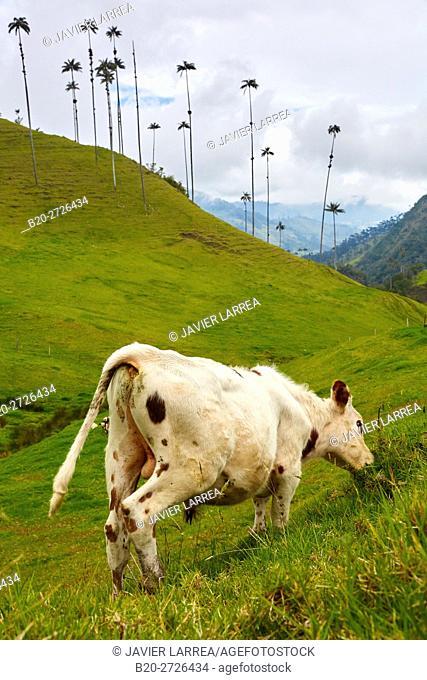 Cattle, Palma de Cera del Quindío (Ceroxylon quindiuense), Valle del Cocora, Salento, Quindio, Colombia, South America