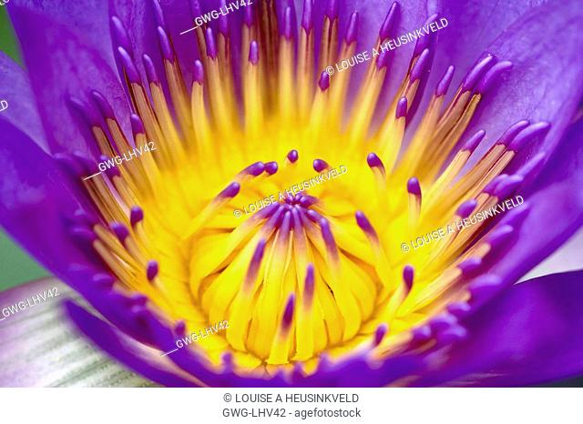 NYMPHAEA WATERLILY, Stock Photo, Picture And Rights Managed