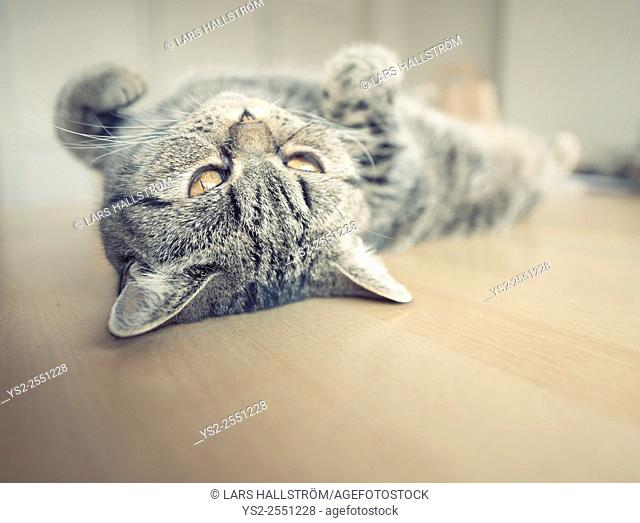 British shorthair cat lying on its back on kitchen table looking up