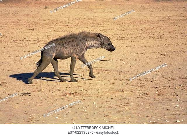 The spotted Hyaena