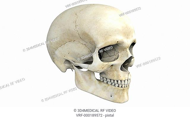 A pan from left to right of the skull. As the camera pans the bones of the skull become colored to emphasize their structure