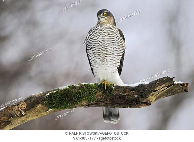 Sparrowhawk / Sperber ( Accipiter nisus ), female in winter, perched on a rotten snow covered tree, wildlife, Europe
