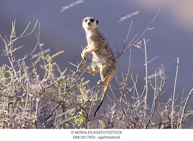 Africa, Southern Africa, South African Republic, Kalahari Desert, Meerkat or suricate (Suricata suricatta), adult, close up on the feet