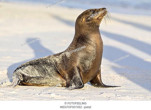 Ecuador, Galapagos Islands, Santa Fe, sandy sea lion at sunlight