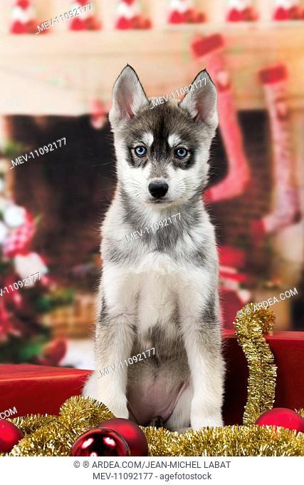 Husky Christmas Puppy.Dog Husky Puppy Christmas Scene Stock Photos And Images