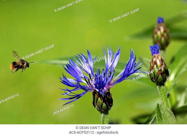 Bumblebee Bombus  in Flight, Batchelor's Button  Centaurea montana  Garden Flower, Summer, Roberts Creek, Sunshine Coast, B.C., Canada