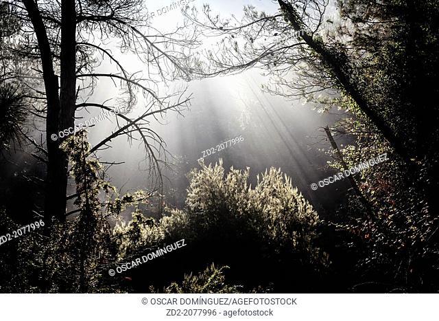 Rays of sunlight penetrating woodland. Barcelona province. Catalonia. Spain