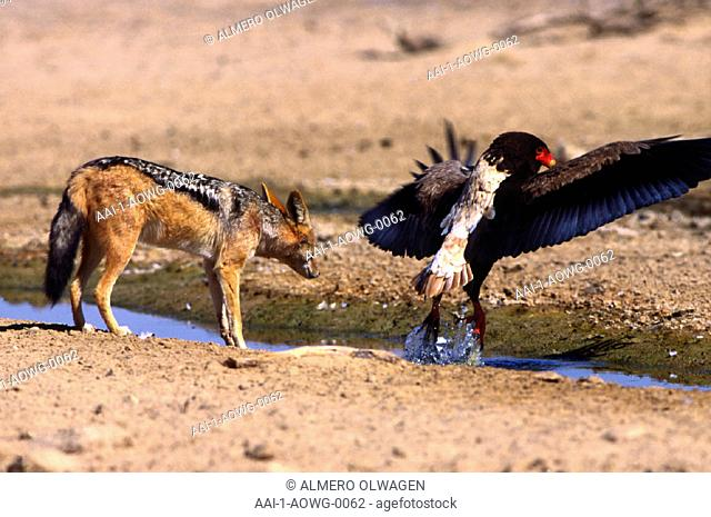 Bateleur and Jackal, South Africa