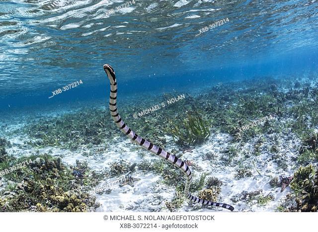 Banded sea krait, Laticauda colubrina, surfacing for air on Sebayur Island, Flores Sea, Indonesia