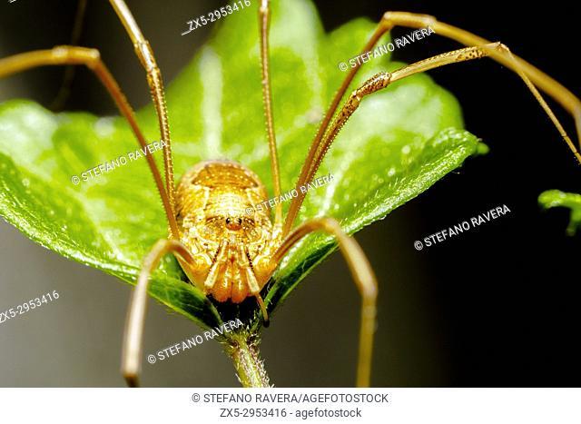 Phalangium opilio spider - Italy