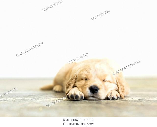 Portrait of puppy sleeping on wooden floor