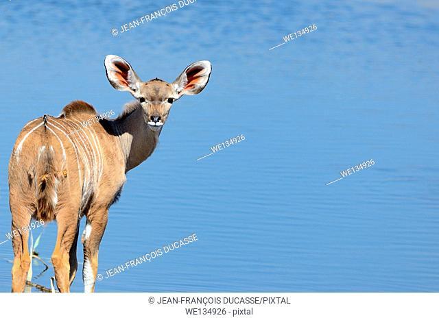 Greater kudu (Tragelaphus strepciceros), young male standing at a waterhole, Etosha National Park, Namibia, Africa