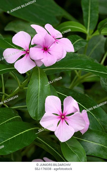 Madagascar Periwinkle, Rosy Periwinkle (Catharanthus roseus), stalk with flowers