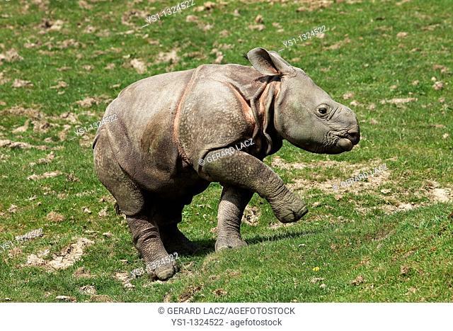Indian Rhinoceros, rhinoceros unicornis, Calf