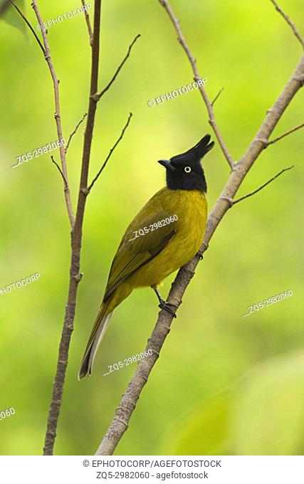 Black Crested Bulbul, Pycnonotus flaviventris, Kyari village, Uttarakhand, India