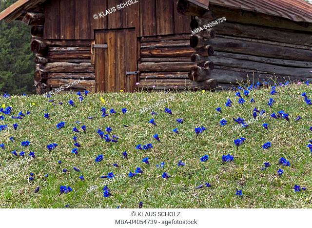 Gentian meadow in front of hay barn