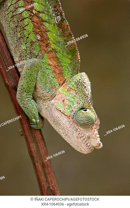 Chameleon, Andasibe, Toamasina, Madagascar